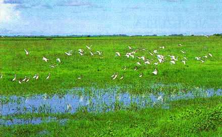 Aigrettes des Llanos