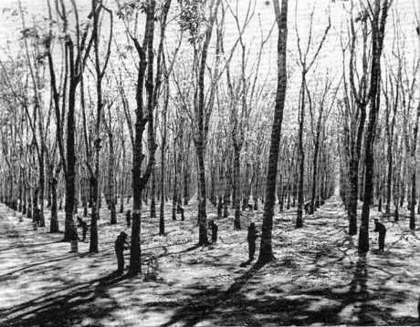 Plantation d'hévéas.