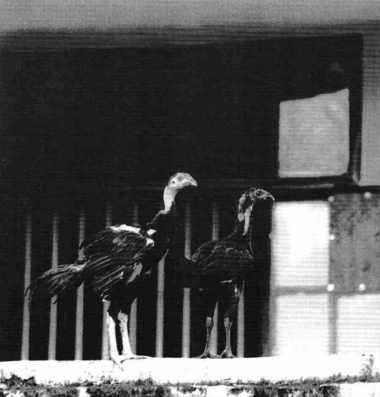 On sera bientôt remplumé grâce au Dôi Moi : quelques vautours à Hanoi.