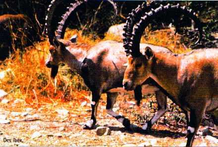 Des Ibex