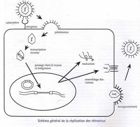 Schéma général de la réplication des rétrovirus