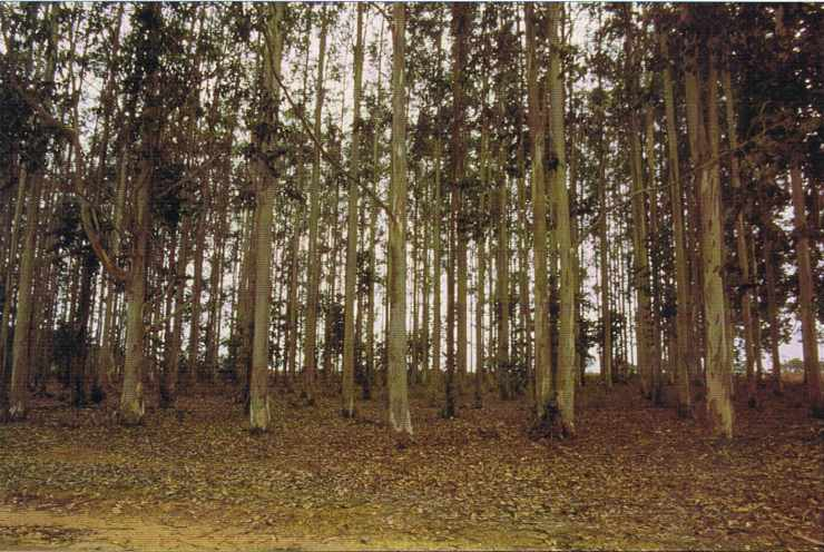 Plantation d'eucalyptus.