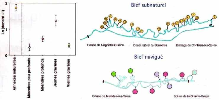 Abondance de jeunes poissons de l'année dans les biefs de la Seine
