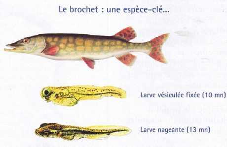 Le brochet : une espèce-clé