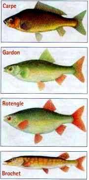 Quelques poissons de la Seine
