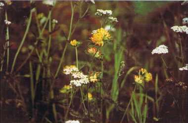 Achillée et Anthyllis introduites dans les mélanges.