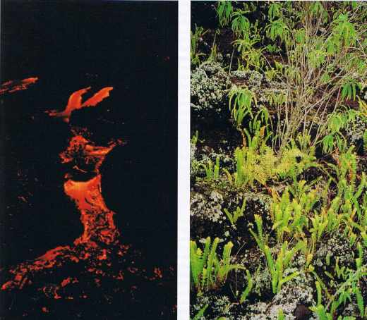 A la Réunion. Reconstition de la végétation après une éruption