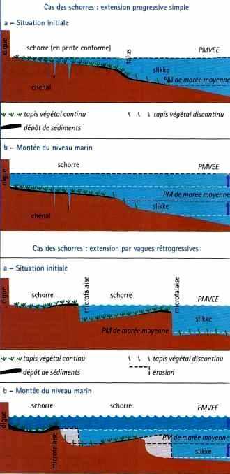 L'évolution des schorres face à une montée du niveau marin