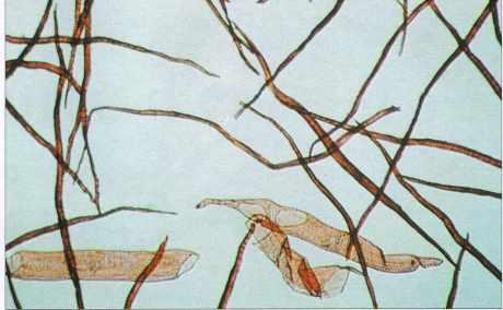 Fibres de cellulose de hêtre.
