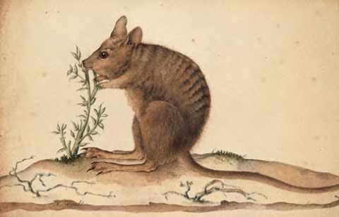 Curieux petit kangourou à dos rayé de la côte ouest de l'Australie, signé Nicolas-Martin Petit. Muséum d'histoire naturelle du Havre.