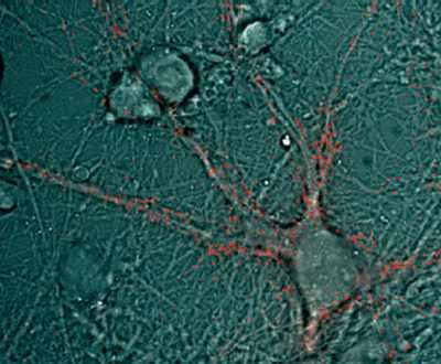 Suivi de molécules biologiques auxquelles ont été greffées des boîtes quantiques luminescentes à l'intérieur d'un neurone