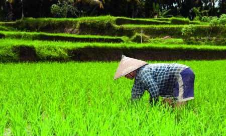 Rizière au Viêt Nam