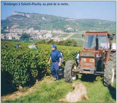 Vendanges à Solutré-Pouilly, au pied de la roche.