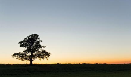 Un cerisier, pour illustrer un poème de Jaccottet