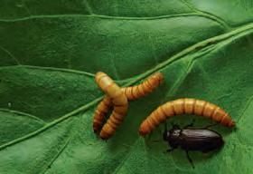 Les insectes se nourrissent de matières peu valorisables.
