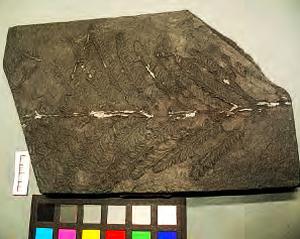 Fossile altéré par des efflorescences blanches de sulfates de fer