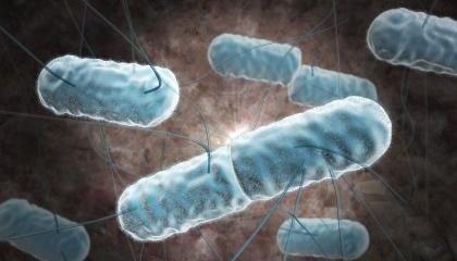 Bactéries Listeria monocytogenes