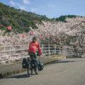 Les sakura en fleurs