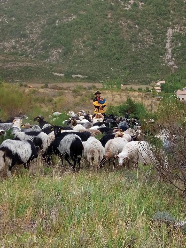Eudes et sa fille Salomé au milieu de son troupeau de brebis de race corse, la plus rustique des races de brebis, capable de s'adapter à la lande pauvre des montagnes sèches de la Drôme.
